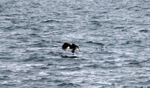 Puget Sound Bald Eagle